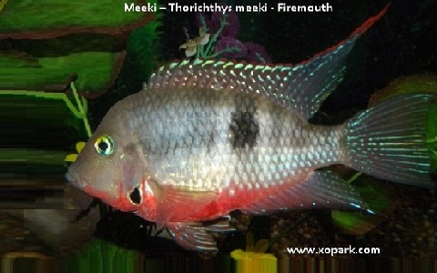 xopark7Meeki—Thorichthys-meeki—Firemouth