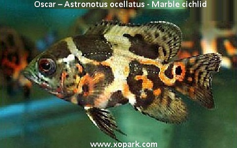 xopark7Oscar—Astronotus-ocellatus—Marble-cichlid