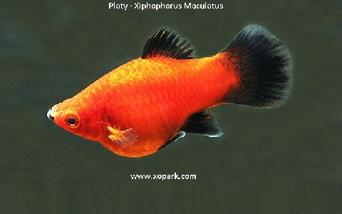 xopark7Platy—Xiphophorus-Maculatus—Wagtail-Platy