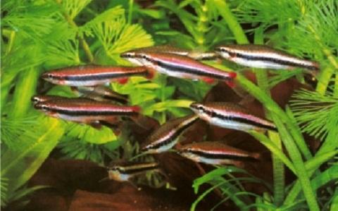 xopark7Poisson-crayon-dore—Nannostomus-anomalus—Golden-pencilfish