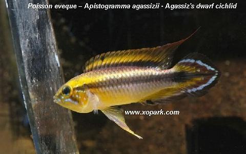 xopark7Poisson-eveque—Apistogramma-agassizii—Agassizs-dwarf-cichlid