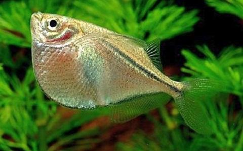 xopark7Poisson-hachette—Carnegiella-strigata-fasciata—Marbled-hatchetfish