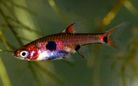 xopark7Rasbora-nain—Boraras maculatus—Dwarf-rasbora