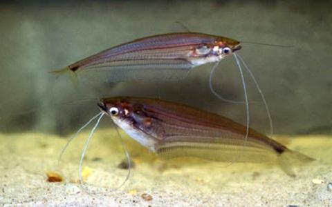 xopark7Silure-de-verre—Kryptopterus-bicirrhis—Glass-catfish