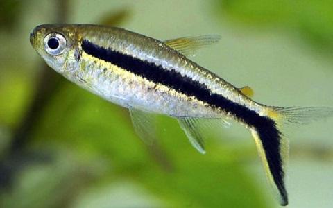 xopark7Tetra-penguin—Thayeria-boehlkei—Blackline-penguinfish