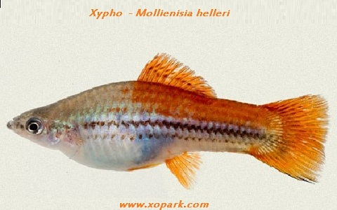 xopark7Xipho—Xiphophorus-hellerii—Green-swordtail