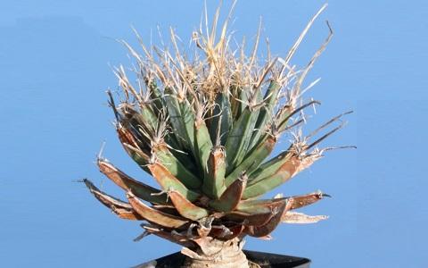 xopark8Agave-cactus—Prism-cactus—Leuchtenbergia-principis