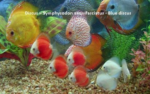 xopark8Discus—Symphysodon-aequifasciatus—Blue-discus