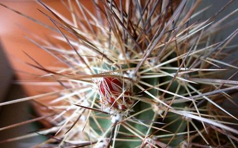 xopark8Echinocereus-coccineus