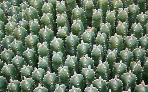 xopark8Euphorbes-du-Maroc—Euphorbia-resinifera—Resin-spurge