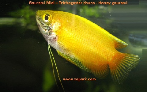 xopark8Gourami-Miel—Trichogaster-chuna—Honey-gourami
