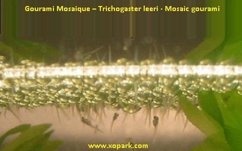 xopark8Gourami-Mosaique—Trichogaster-leeri—Mosaic-gourami