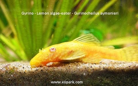 xopark8Gyrino—Lemon-algae-eater—Gyrinocheilus-aymonieri