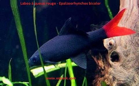 xopark8Labeo-à-queue-rouge—Epalzeorhynchos-bicolor—Bicolor-labeo