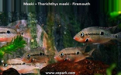 xopark8Meeki—Thorichthys-meeki—Firemouth