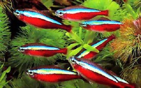 xopark8Neon-bleu—Paracheirodon-innesi—Neon-tetra