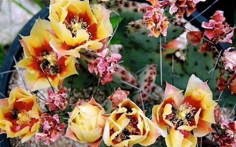 xopark8Opuntia-macrocentra—Opuntia-macrocentra-Engelm