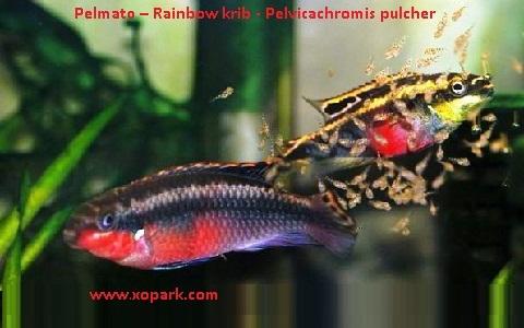 xopark8Pelmato—Rainbow-krib—Pelvicachromis-pulcher