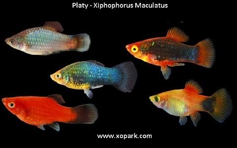 xopark8Platy—Xiphophorus-Maculatus—Wagtail-Platy