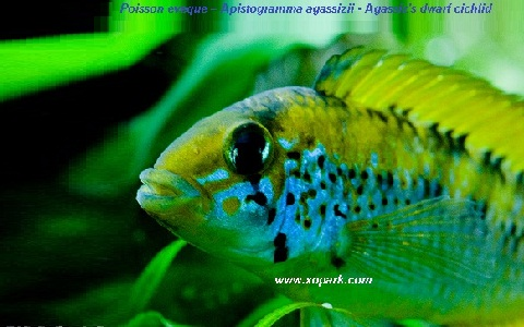 xopark8Poisson-eveque—Apistogramma-agassizii—Agassizs-dwarf-cichlid