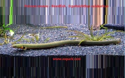 xopark8Poisson-roseau—Reedfish—Erpetoichthys-calabaricus