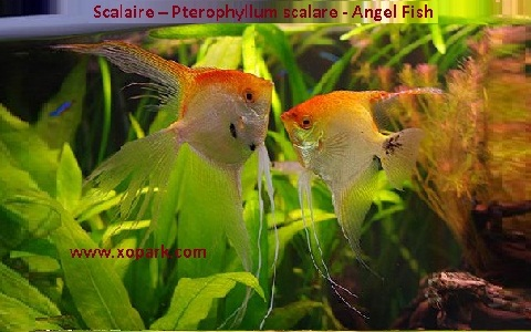xopark8Scalaire—Pterophyllum-scalare—Angel-Fish