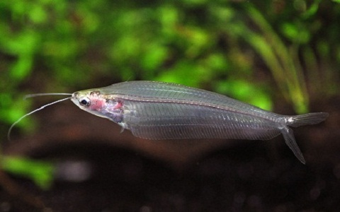 xopark8Silure-de-verre—Kryptopterus-bicirrhis—Glass-catfish