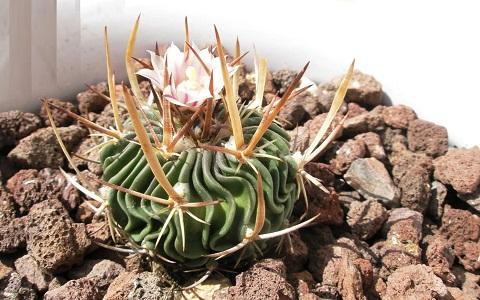 xopark8Stenocactus-hastatus