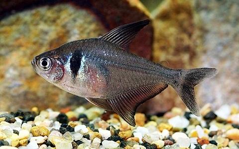 xopark8Tetra-fantome—Hyphessobrycon-megalopterus—Black-phantom-tetra