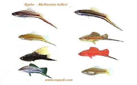 xopark8Xipho—Xiphophorus-hellerii—Green-swordtail
