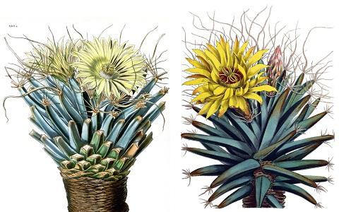 xopark9Agave-cactus—Prism-cactus—Leuchtenbergia-principis