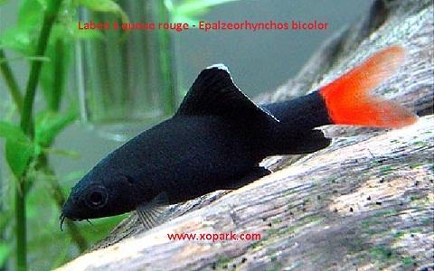 xopark9Labeo-à-queue-rouge—Epalzeorhynchos-bicolor—Bicolor-labeo