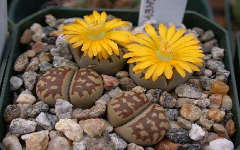 xopark9Lithops-dorotheae