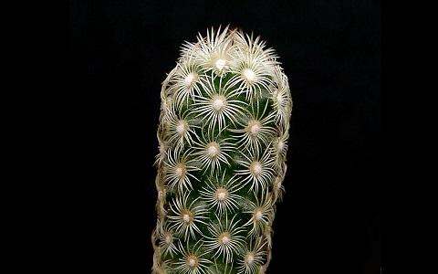 xopark9Mammillaria-elongata