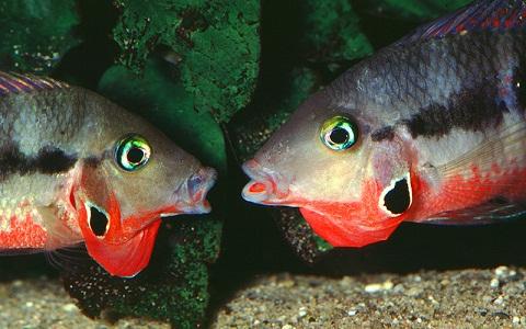 xopark9Meeki—Thorichthys-meeki—Firemouth