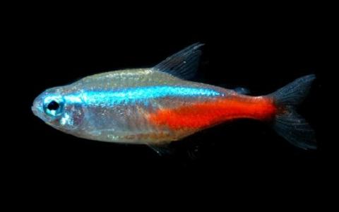 xopark9Neon-bleu—Paracheirodon-innesi—Neon-tetra