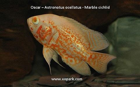 xopark9Oscar—Astronotus-ocellatus—Marble-cichlid