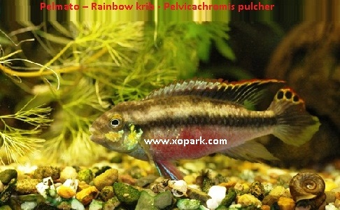 xopark9Pelmato—Rainbow-krib—Pelvicachromis-pulcher