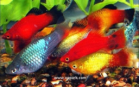 xopark9Platy—Xiphophorus-Maculatus—Wagtail-Platy