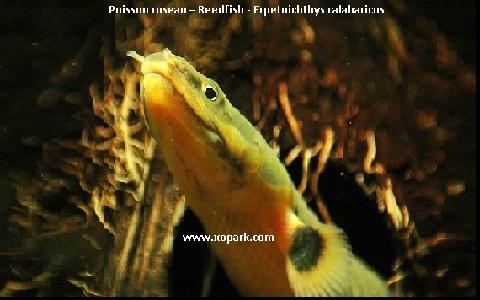 xopark9Poisson-roseau—Reedfish—Erpetoichthys-calabaricus