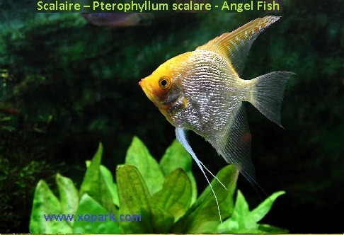xopark9Scalaire—Pterophyllum-scalare—Angel-Fish