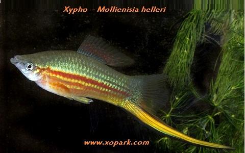 xopark9Xipho—Xiphophorus-hellerii—Green-swordtail