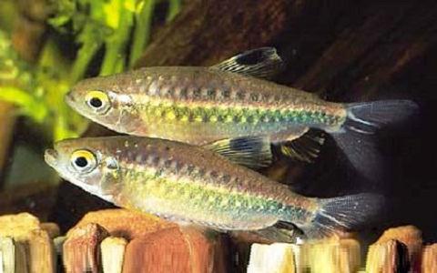xopoark5Tétra-du-Niger—Arnoldichthys-spilopterus—Niger-tetra