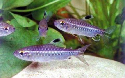 xopoark9Tétra-du-Niger—Arnoldichthys-spilopterus—Niger-tetra