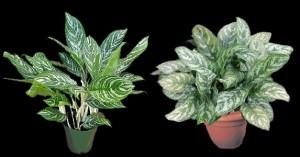 Aglaonema-commutatum00-plantes-d-interieurs-xopark