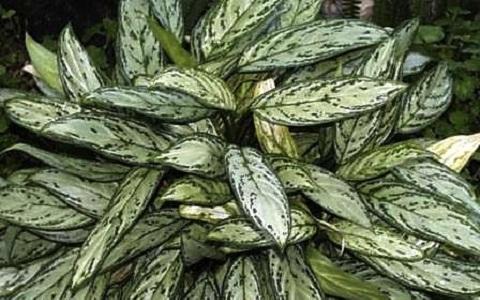 Aglaonema-commutatum1-plantes-d-interieurs-xopark
