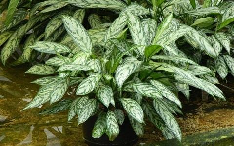 Aglaonema-commutatum3-plantes-d-interieurs-xopark