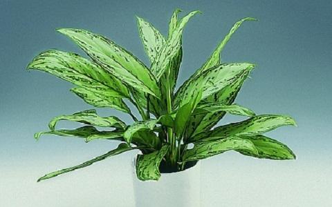 Aglaonema-commutatum4-plantes-d-interieurs-xopark