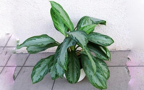 Aglaonema-commutatum5-plantes-d-interieurs-xopark