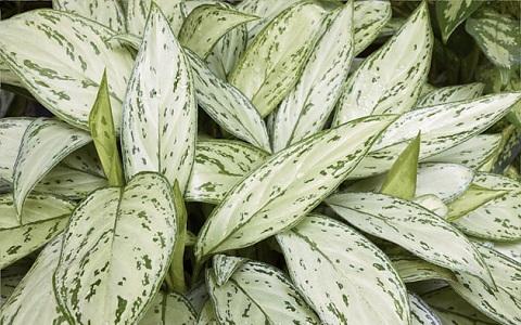 Aglaonema-commutatum7-plantes-d-interieurs-xopark